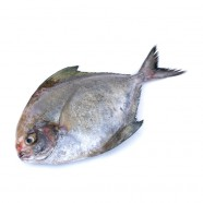 FRESH BLACK POMPFRET FISH